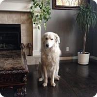 Great Pyrenees Mix Dog for adoption in Okotoks, Alberta - Bella