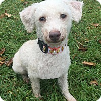 Poodle (Miniature) Mix Dog for adoption in Boca Raton, Florida - Rudy