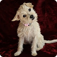 Terrier (Unknown Type, Small)/Terrier (Unknown Type, Small) Mix Dog for adoption in Yucaipa, California - Netty