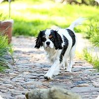 Adopt A Pet :: Minnie Mouse - Auburn, CA