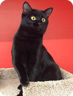 Domestic Shorthair Kitten for adoption in Merrifield, Virginia - Jack