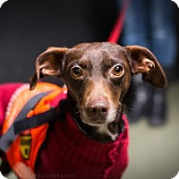 Adopt A Pet :: Sterling Brown - Brooklyn, NY