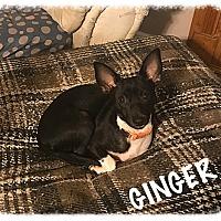 Adopt A Pet :: Ginger - Tempe, AZ