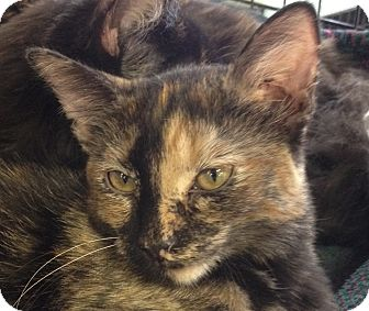 Domestic Shorthair Kitten for adoption in Chandler, Arizona - Rue