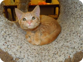 Domestic Shorthair Kitten for adoption in Medina, Ohio - Mona