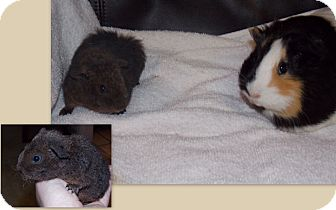 Guinea Pig for adoption in Fullerton, California - Marie Anne and Jessie