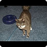 Maine Coon Cat for adoption in Lake Ronkonkoma, New York - Roxy