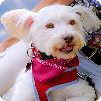 Adopt A Pet :: Pete therapy dog potential - Sacramento, CA