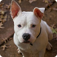 Adopt A Pet :: Kirbie - Des Peres, MO