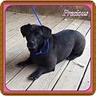 Adopt A Pet :: Precious (POM-Robin)