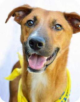 Shepherd (Unknown Type)/Whippet Mix Dog for adoption in Kenner, Louisiana - Rigby - URGENT NEEDS EXPERIENCED FOSTER!