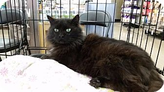 Domestic Longhair Cat for adoption in Cleburne, Texas - Feather