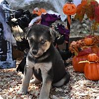 Adopt A Pet :: Lili's Chase - Charlemont, MA