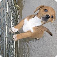Adopt A Pet :: Augie - Williston Park, NY