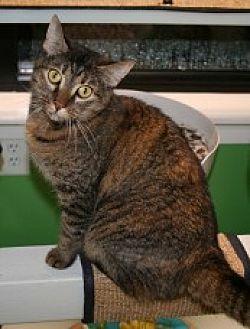 Domestic Shorthair Cat for adoption in Marietta, Georgia - Motta