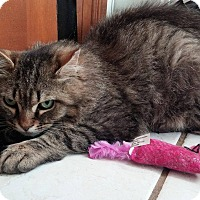 Domestic Shorthair Cat for adoption in Middletown, New York - Cheese