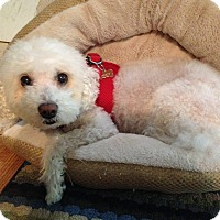 Adopt A Pet :: Nancy-Nanuet-NY - Stamford, CT
