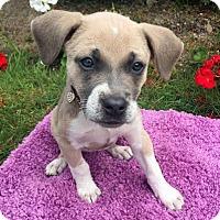 Adopt A Pet :: Ariel-Adopted! - Detroit, MI