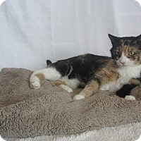 Domestic Shorthair Cat for adoption in Ridgway, Colorado - Isabo