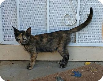 Domestic Mediumhair Cat for adoption in Woodland, California - Sally