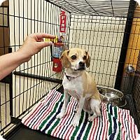 Adopt A Pet :: Bayley - Las Vegas, NV