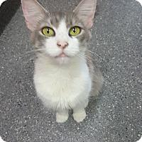 Domestic Longhair Cat for adoption in yuba city, California - Skillet