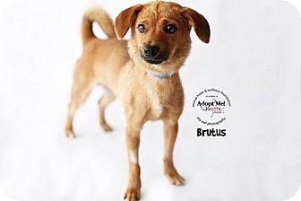 Terrier (Unknown Type, Medium) Mix Dog for adoption in Sherman Oaks, California - Brutus