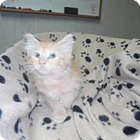 Domestic Mediumhair Kitten for adoption in Clarksville, Arkansas - Josie