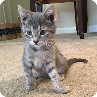 Domestic Shorthair Kitten for adoption in Austin, Texas - Catpurrnicus