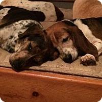 Bluetick Coonhound/Beagle Mix Dog for adoption in Decatur, Georgia - Gilligan [Foster Me?]
