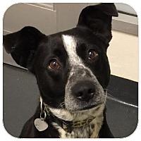 Australian Cattle Dog Mix Dog for adoption in Ithaca, New York - Plinko