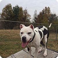 Adopt A Pet :: Marley - St. Charles, MO