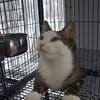 Oriental Cat for adoption in East Stroudsburg, Pennsylvania - Gamble