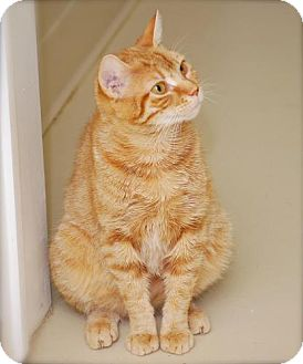 Domestic Shorthair Cat for adoption in Bensalem, Pennsylvania - Blessing