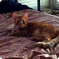 Domestic Shorthair Cat for adoption in Los Alamitos, California - Adam 2