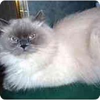 Adopt A Pet :: Rajah - Arlington, VA