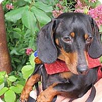 Adopt A Pet :: HERCULES - Portland, OR