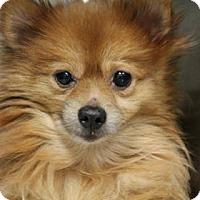 Adopt A Pet :: Tickles - Lebanon, CT