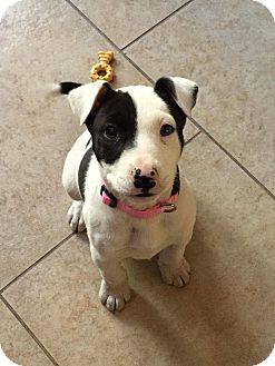rosie | Adopted Puppy | Phoenix, AZ | American Bulldog ...
