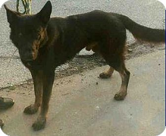 German Shepherd Dog Dog for adoption in Black Forest, Colorado - Champ