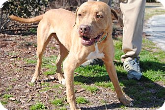 Pit Bull Terrier Mix Dog for adoption in Windsor, Virginia - Peanut