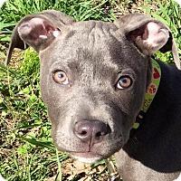 Adopt A Pet :: Sampson - Memphis, TN