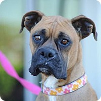 Adopt A Pet :: Ashley - Alameda, CA