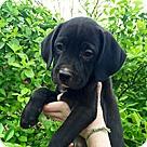 Adopt A Pet :: Domino Pup Cassie