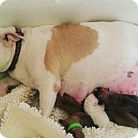 Adopt A Pet :: Mamma Cass - Las Vegas, NV