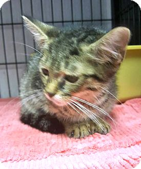 Domestic Shorthair Kitten for adoption in Savannah, Georgia - Asbury