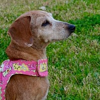 Adopt A Pet :: Lillie - Pearland, TX