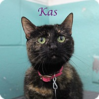 Domestic Shorthair Cat for adoption in Bradenton, Florida - Kas
