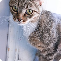 Domestic Shorthair Cat for adoption in Loogootee, Indiana - Effie