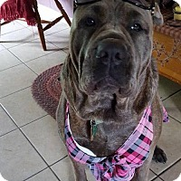 Cane Corso Dog for adoption in Belleville, Michigan - Queen (Adoption Pending)